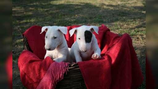 Bull Terrier welpen - Bullterrier (011)