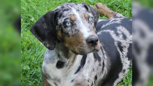 Louisiana Leopard Dog - Catahoula - Louisiana Catahoula Leopard Dog