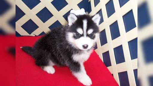 pomsky Welpen zum Verkauf. - Siberian Husky (270)