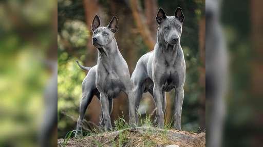Thai Ridgeback Dod – blaue Welpen - Thai Ridgeback (338)