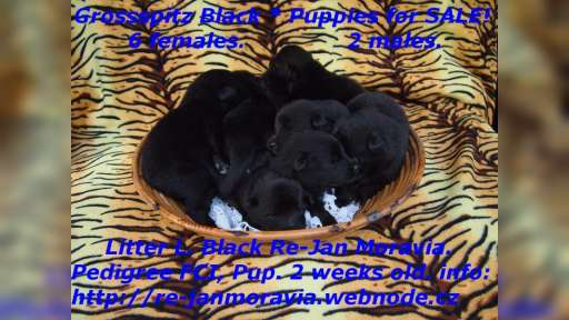 Grossspitz schwarz - Giant German Spitz Black puppies for sale. - Deutscher Spitz (097)