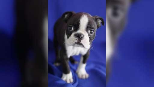 Welpen Bostons Terrier für Adoption - Boston Terrier (140)