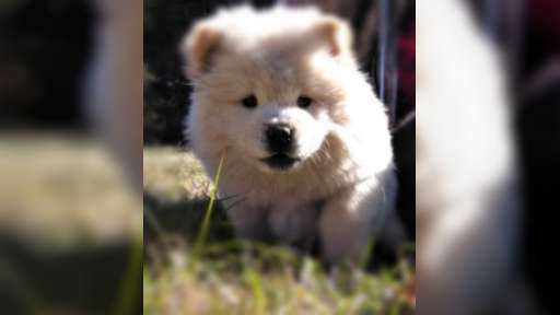 Sehr verspielte Chow Chow Welpen - Chow Chow (205)