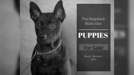 Thai Ridgeback PUPPY  - Thai Ridgeback (338)