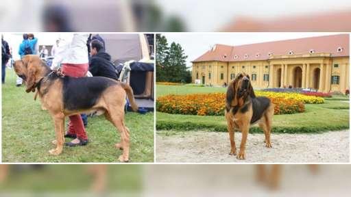 Bloodhound welpen - Bloodhound (084)