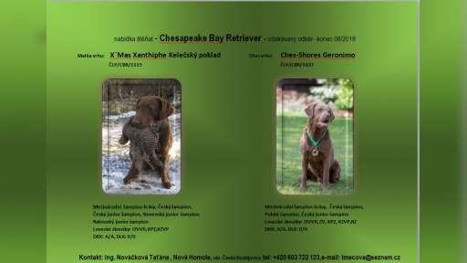 Chesapeake bay retriever - Chesapeake Bay Retriever (263)