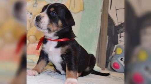 Grosser Schweizer Sennenhund ( Great Swiss Mountain Dog ) - Grosser Schweizer Sennenhund (058)