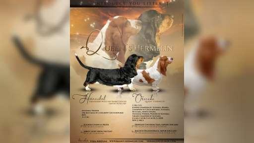 Basset hound puppies Queen´s Hermelín kennel - Basset Hound (163)
