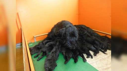 Knírač velký černý s PP-štěně - Riesenschnauzer (181)