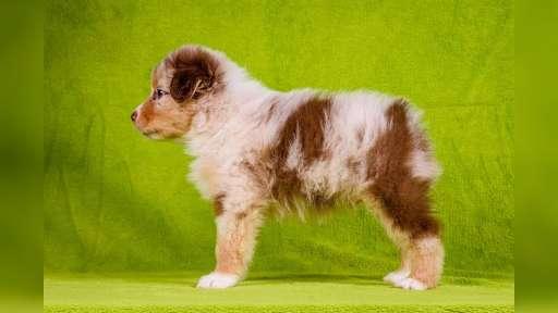 Australian shepherd  - Australian Shepherd (342)