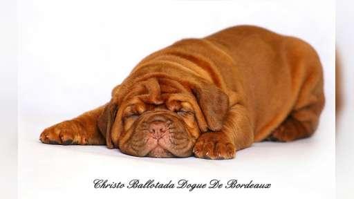 Bordeauxdogge Welpen - Bordeauxdogge (116)